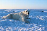 Isbjörnar behöver betydligt mer energi än vad man hittills trott. Bilden visar en av de nio fullvuxna isbjörnhonor som forskarna följde i upp till elva dagar.
