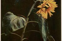 """John Hertzberg, """"Utan titel"""", 1903"""
