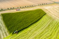 En bonde skördar cannabis i den tyska delstaten Sachsen.